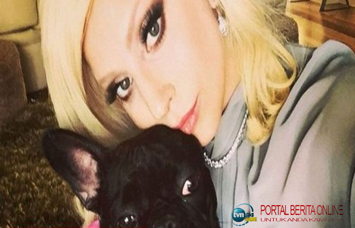 2 Bulldog Lady Gaga Dicuri, Orang yang Bawa Anjing Itu Jalan-jalan Ditembak