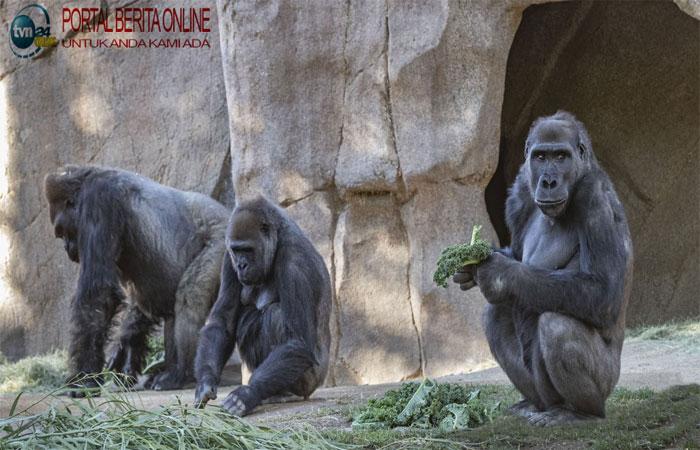Covid Jangkiti Gorila, Vaksin Eksperimen Diberikan kepada Kera-kera Besar